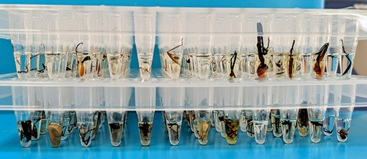 A tray of clear tubes is in front of a blue background. In the tubes, the legs, wings and other pieces of insects floating in liquid can be seen.