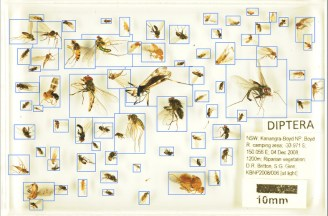 photograph of a drawer of diptera with boxes round specimens