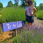 Frolicking Through the Lavender