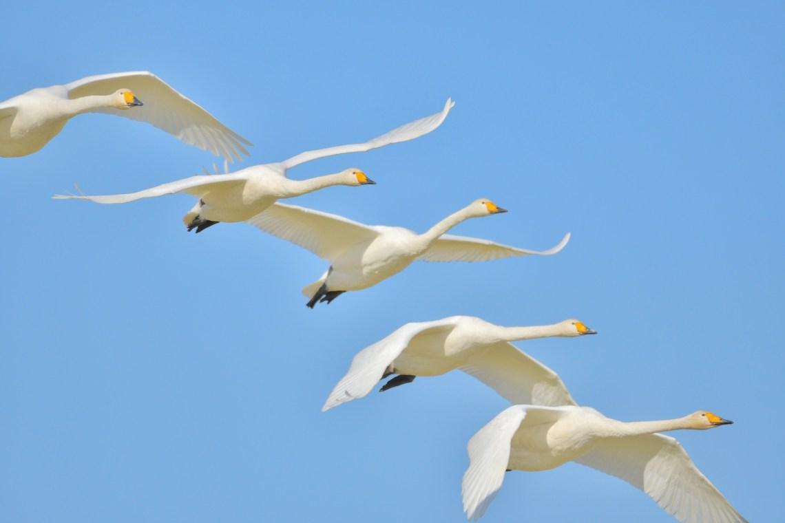 白鳥の編隊飛行