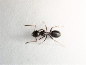 黒いアリの写真