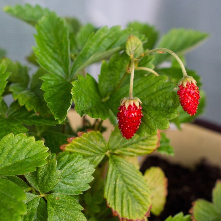 fragaria vesca home remedy for dog gum disease