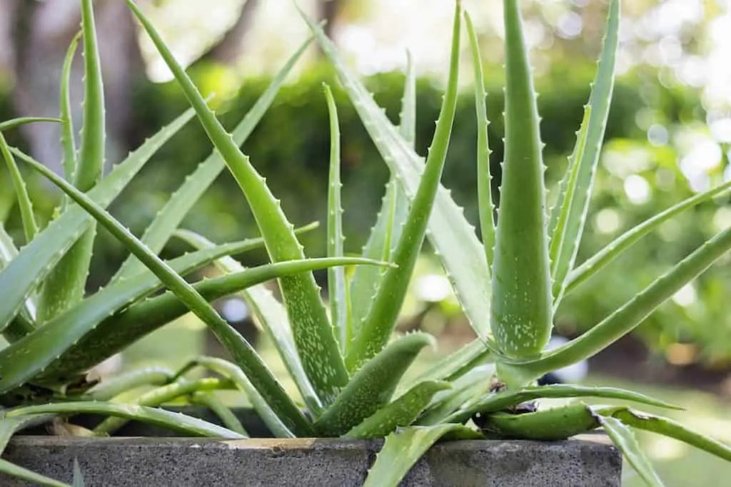 Aloe Vera plants have strong antioxidant properties, making them ideal for sunburnt skin.