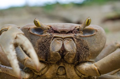 Crab, taken on Tobago while Chris was having breakfast. ©Chris Pollock