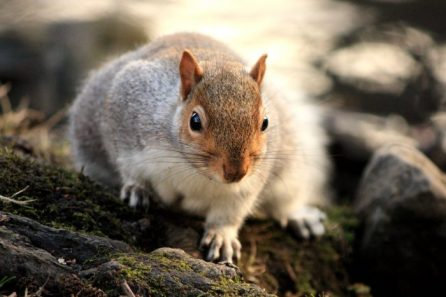 Grey squirrels, introduced form North America, out compete the native red squirrels. © Angus Lothian