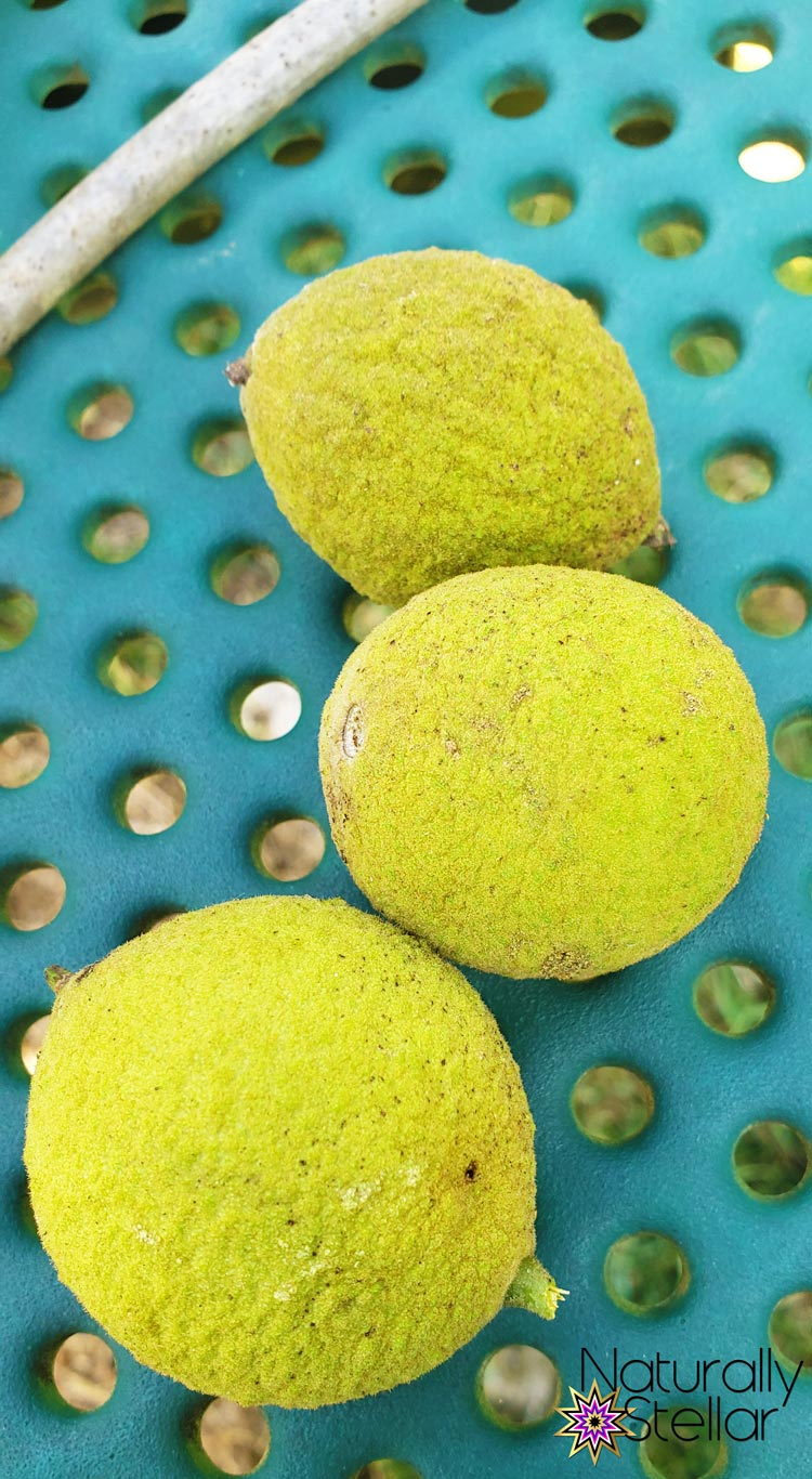 STEM and STEAM activities to keep kids busy. Black Walnut Seeds   Naturally Stellar