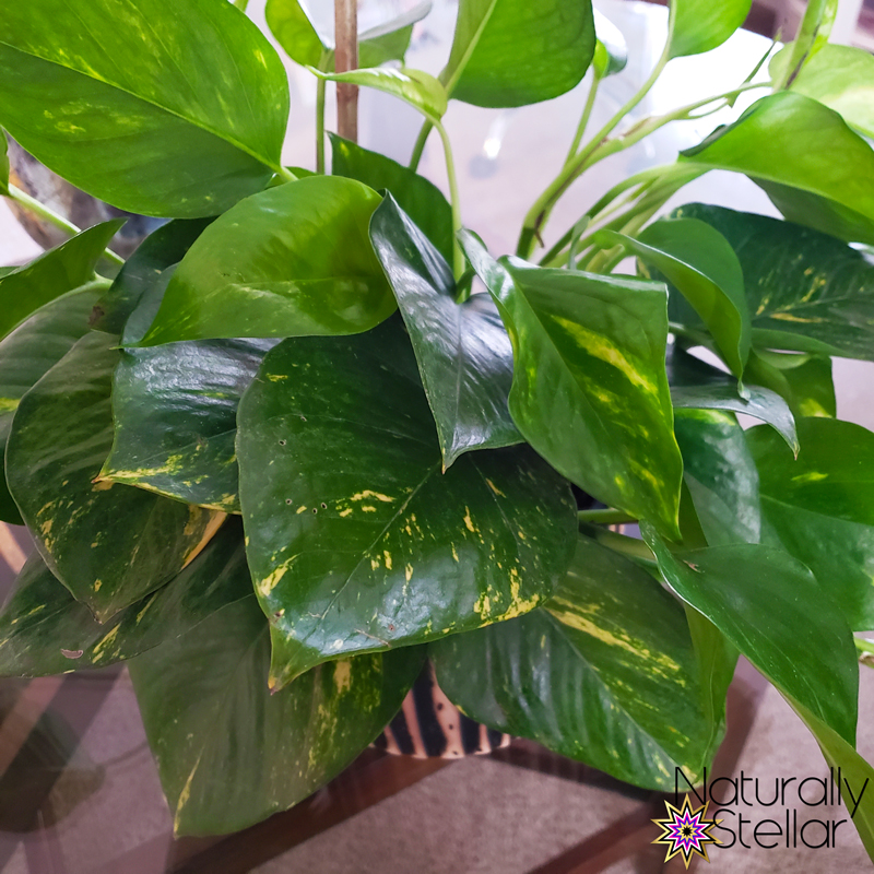 My newest plant baby is a gorgeous pothos from Wayfair