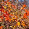 Illinois Rose Fall Foliage