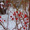 Illinois Rose in Winter 2