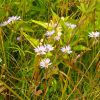 smooth blue aster in prairie