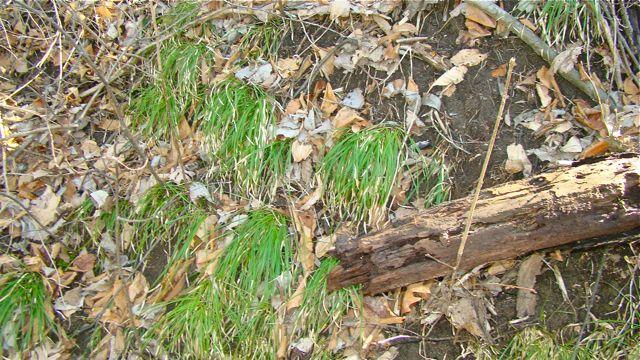 carex pedunculata