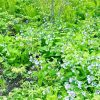 bluebells & ferns