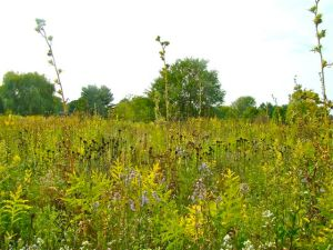 compass plant in fall CTL prairie