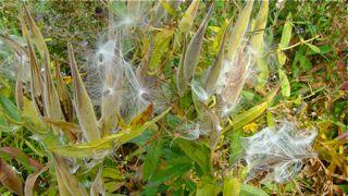 milkweed fluff 2