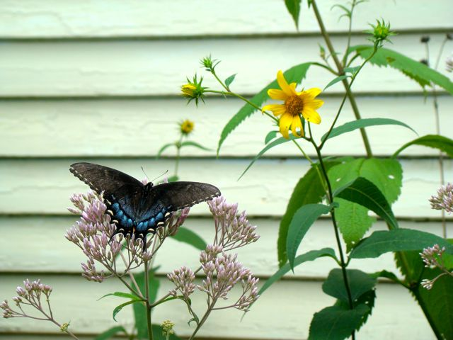 black swallowtail horizontal