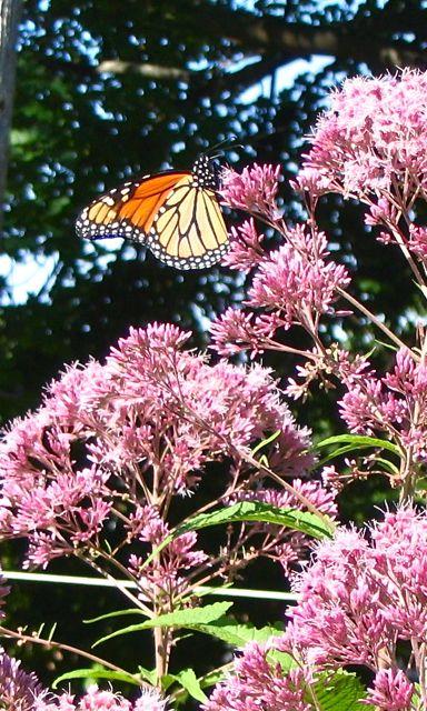 monarch on joe pye 2007