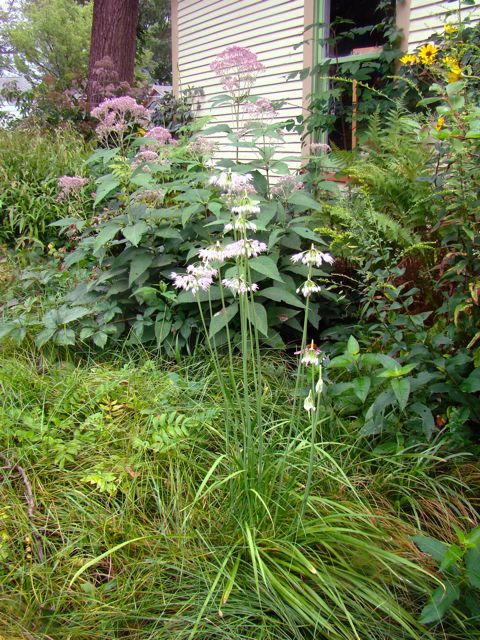 nodding wild onion and joe pye