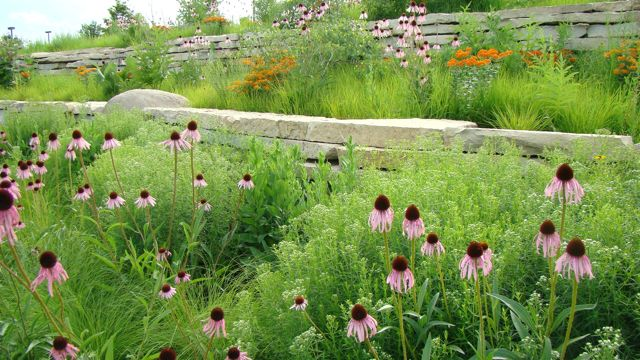 Prairie dropseed w: pale purple coneflower