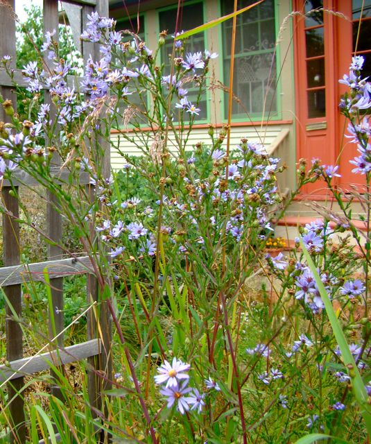 trellis, smooth blue aster, fall 2014