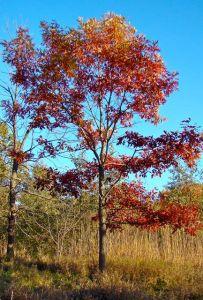 Red Oak BFP fall
