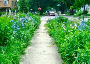 blue & white garden along west side walk