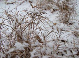 Palm sedge winter