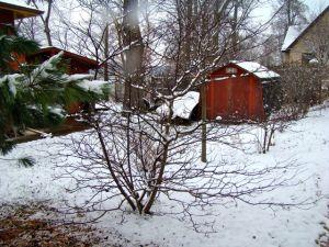 pagoda dogwood winter