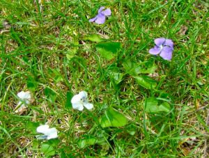 violets in grass