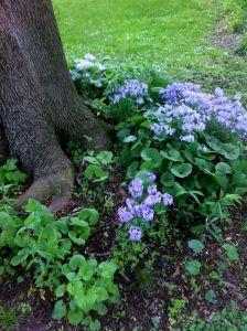Wild blue Phlox under tree at Karen's
