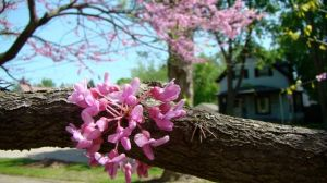 redbud blossoms on branch