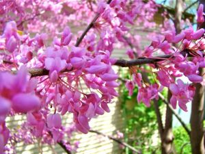 redbud mas of blossoms