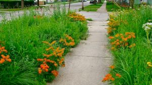 Butterfly Weed front sidewalk