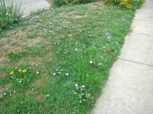 scattered wild petunia in lawn