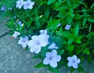 wild petunia edging