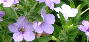 wild petunia enlargement