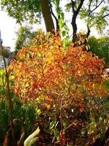 Hazelnut shrub