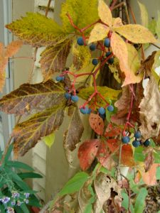 virginia creeper berries 2015