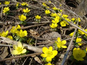 winter aconite best one