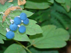 blue cohosh berries 2014  2