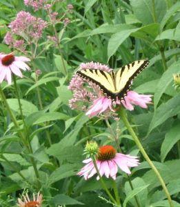 butterflies tiger swallowtail
