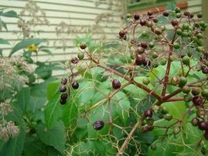 virginia creeper berries 2