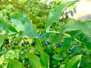 solomons-seal-berries