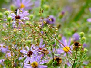 asters-and-raindrops