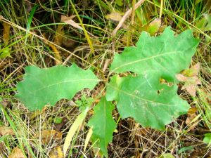 baby-oak-tree-leaves