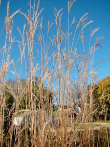 big-bluestem-side-yard-2016