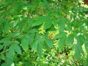 Blue Beech leaves