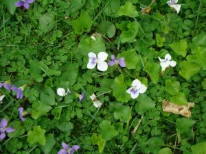 violets in the lawn April