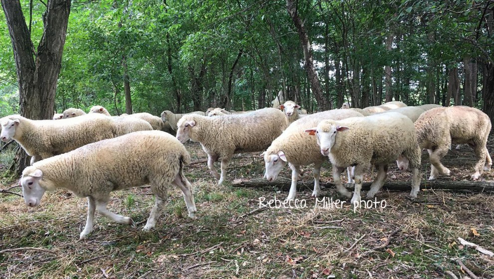 Commercial ewe lambs for sale