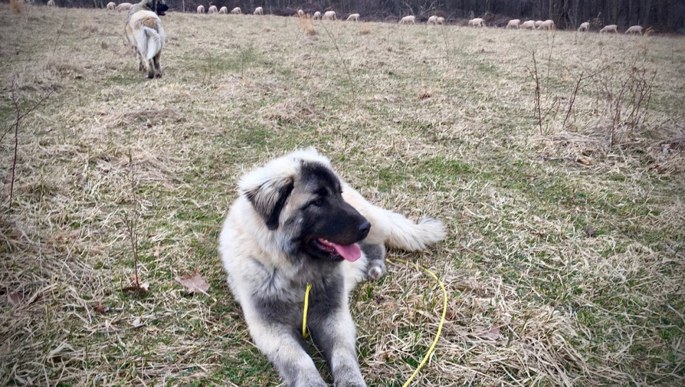 Meet Punica, our newest livestock guardian dog