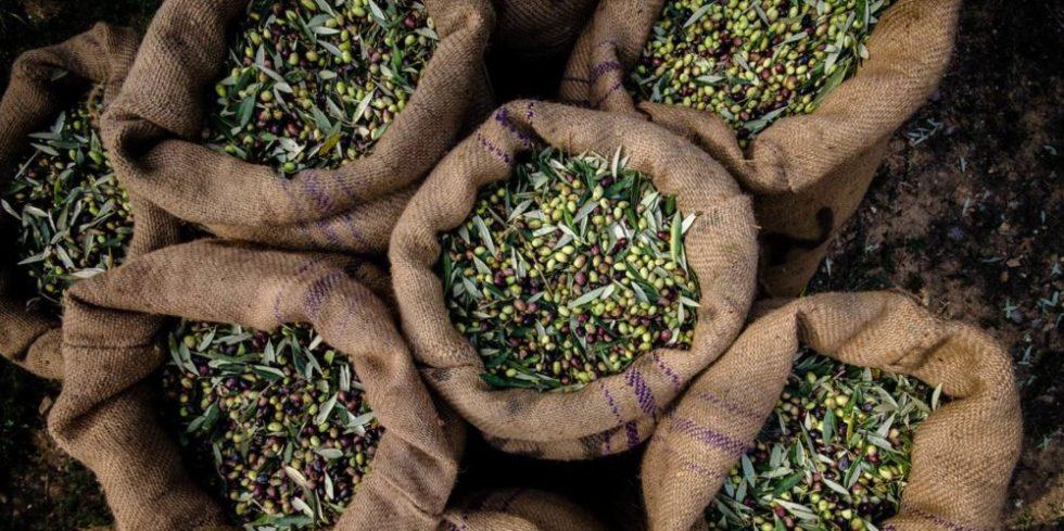 Сорта греческих оливок